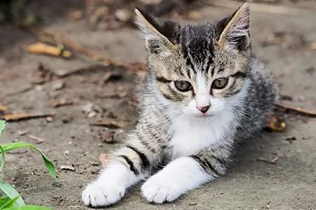 「日本猫」