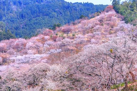 奈良県の「吉野山(中千本)」